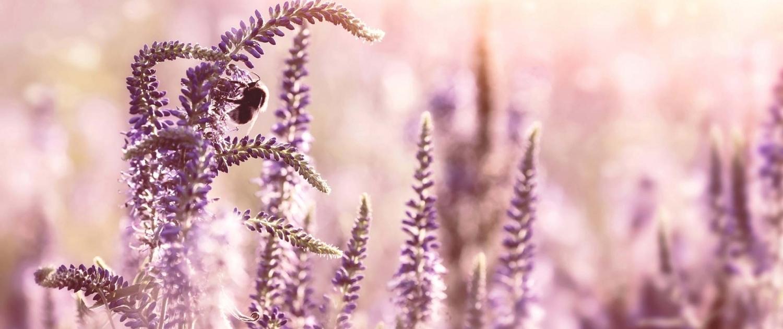 Hummel im Lavendel Feld - Soulfood Ayurveda